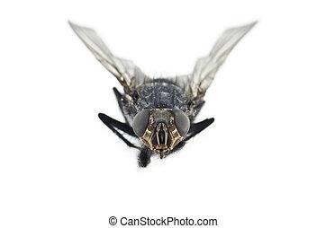vlieg, afsluiten, insect, op, extreem