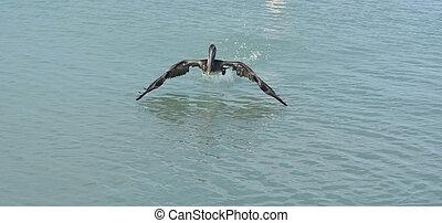 vlieg, pelikan, groot, hemel, het bereiden