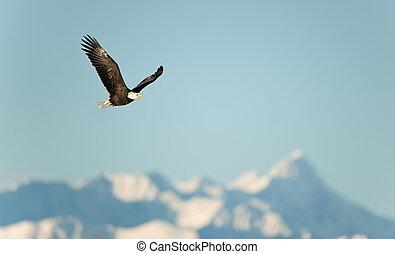 vliegende adelaar, op, snow-covered, bergen.