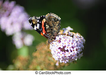 vlinder, admiraal, rood