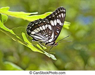 vlinder, admiraal, wiedemeyers