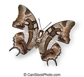 vlinder, afbeelding, vrijstaand, tropische , helder, beige, ...