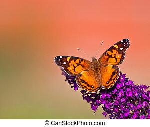 vlinder, amerikaan, dame