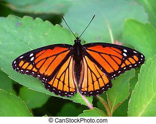 vlinder, archippus), (limenitis, onderkoning, illinois