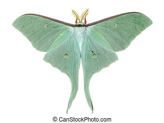 vlinder, artemis), 21, (actias, nacht