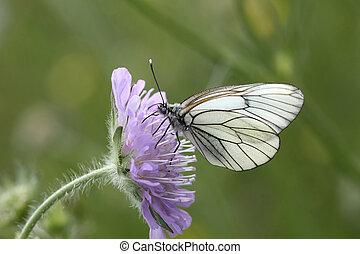 vlinder, -, black-veined, witte