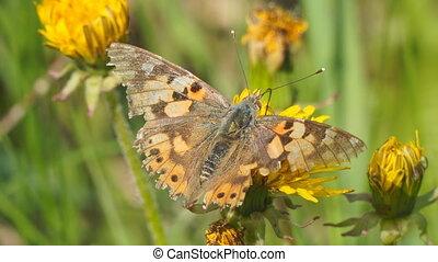 vlinder, bloem, burdock, gele, paardenbloem