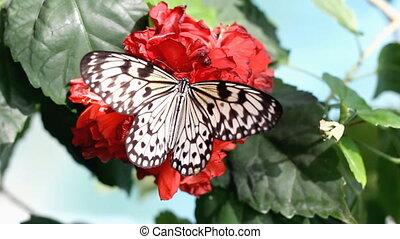 vlinder, bloem, rood