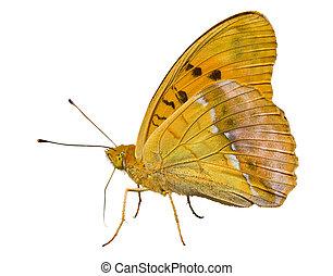 vlinder, (brenthis), 7