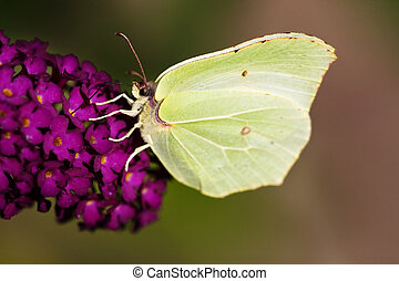 vlinder, brimstone