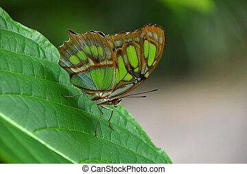 vlinder, bruin blad, groene, tropische