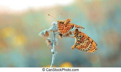vlinder, bruine , vertragen, levensstijl, natuur,...