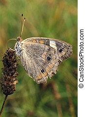 vlinder, buckeye, dauw