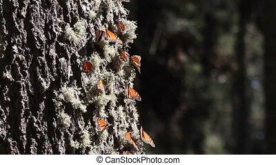 vlinder, canada, heiligdom, terugkeren, usa, mexico, jaar,...