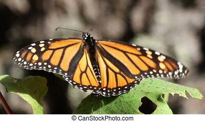 vlinder, canada, heiligdom, terugkeren, usa, mexico, jaar, verbazend, vlinder, elke, vorst, waar, millions