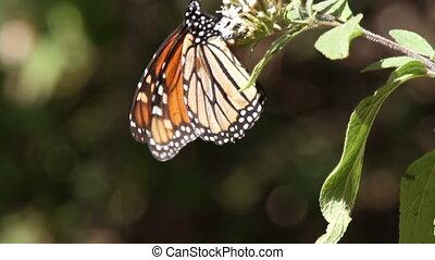 vlinder, canada, heiligdom, terugkeren, usa, mexico, jaar, ...