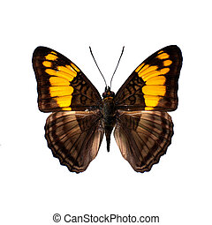 vlinder, definitie, hoog, witte achtergrond