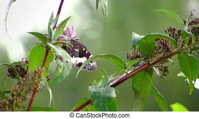 vlinder, dichtbegroeid boven
