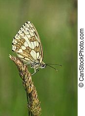 vlinder, -, doorregen, witte , (female)