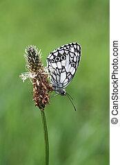 vlinder, -, doorregen, witte , (male), m