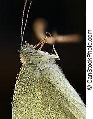 vlinder, druppels, algemeen, dauw
