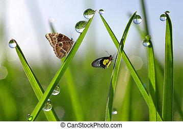 vlinder, druppels, dauw