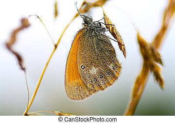 vlinder, druppels, vleugels, regen