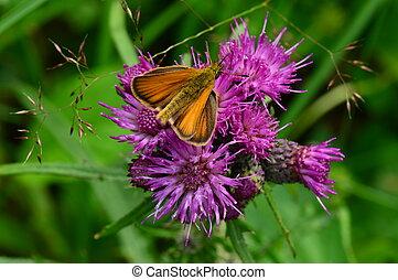 vlinder, fauna, dieren, insect, o
