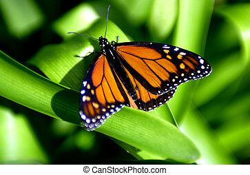 vlinder, foto's, fauna, -