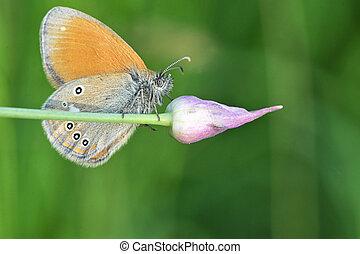 vlinder, fritillary, underwing, gewassen, zilver