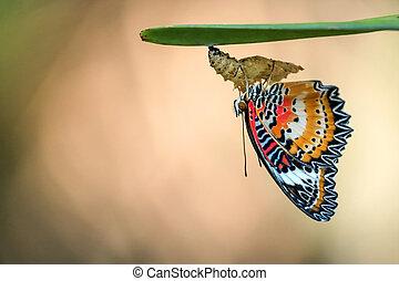 vlinder, garden., pop, luipaard, lacewing