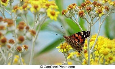 vlinder, genaamd, vanessa, gele bloemen, cardui