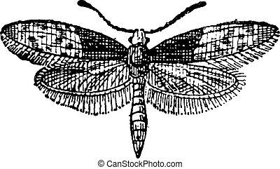 vlinder, gravure, moth, ouderwetse , brassolis, of, liphyra