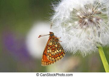 vlinder, heide, fritillary, (mellict