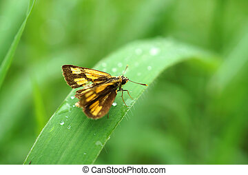 vlinder, hesperiidae, (skippers))., (family, dauw, fris, morgen
