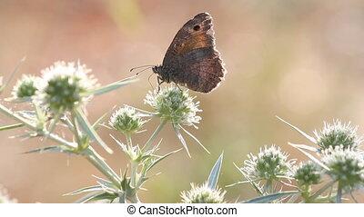 vlinder, het voeden, scène, natuur