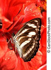 vlinder, het voeden