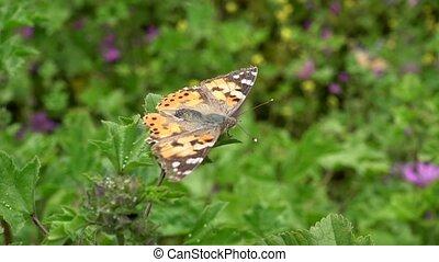 vlinder insect, blad, plant