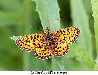 vlinder kleuren, vector, sinaasappel