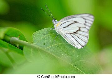 vlinder, kool, weide, witte