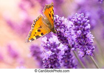 vlinder, lavendel, bloesems