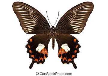 "vlinder, mormon"", polytes, papilio, mandane, ""common, soort"