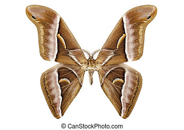 vlinder, moth, kohlii, soort, samia