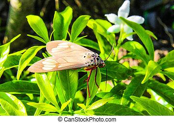 vlinder, moth, tiger, insect, aziaat, thailand, gras