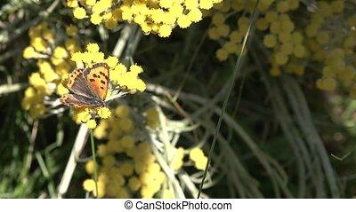 vlinder, (nymphalis, plant, gezin, blackleg, nymphalidae,...
