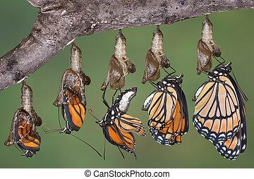 vlinder, onderkoning, het bovenkomen