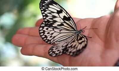 vlinder, op, de, menselijke hand