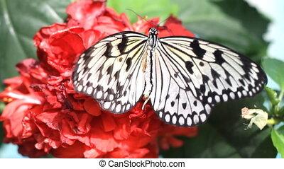 vlinder, op, de, rode bloem