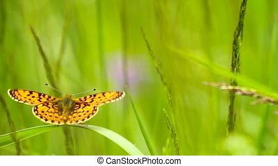 vlinder, op, gras