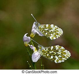 vlinder, orange-tip, underwing